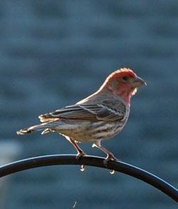 Our birds: Finches – Our Habitat Garden